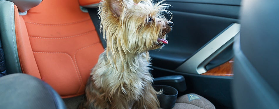 Cute yorkshire terrier in the car