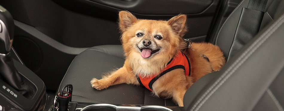 Pomeranian and Chihuahua mix dog goes for a ride in the car
