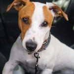 young jack russell terrier sit car seat